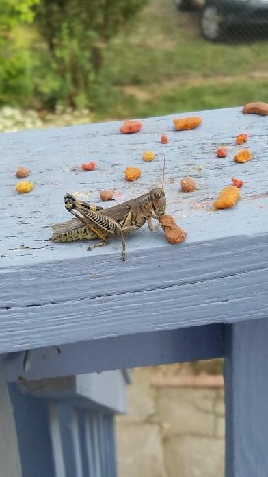 GrasshoppenCatFood